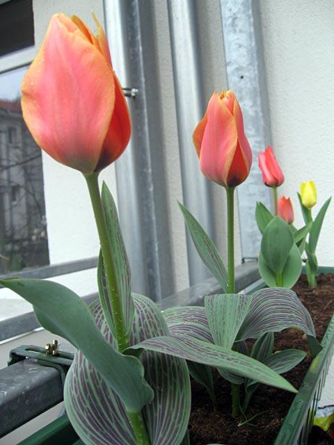 Tulpis1